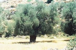 Olive grove, Taffou, Hebron (Tbass Effendi)