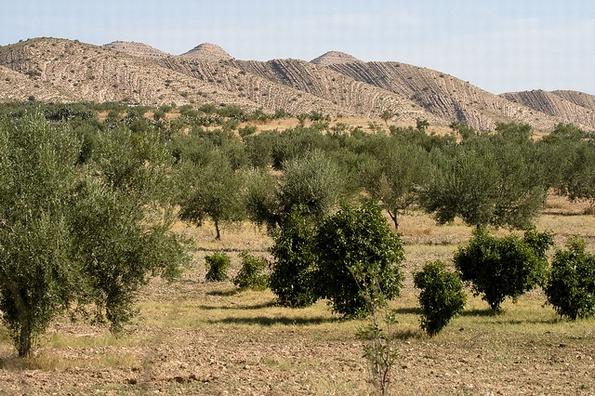 Olive farming in Tunisia (Kurt Johnson, Flickr Commons)